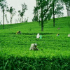 http://www.ramadakatunayake.com/wp-content/uploads/2016/05/Tea-Gardens.jpg