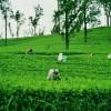 https://www.ramadakatunayake.com/wp-content/uploads/2016/05/Tea-Gardens.jpg
